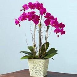 3lü Mor Orkide